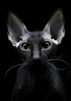 Black cat by Igor Sakharov on - Hairless Cat - Ideas of Hairless Cat - Black cat by Igor Sakharov on The post Black cat by Igor Sakharov on appeared first on Cat Gig. Spynx Kitten, Gato Sphinx, Black Hairless Cat, Chat Sphynx, Gatos Cool, Grey Kitten, Cat Photography, Domestic Cat, Beautiful Cats