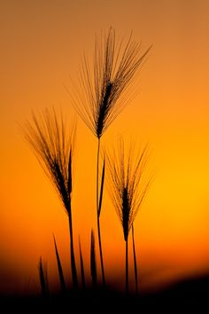 llbwwb: Foxtail barley at sunset. ©Jerry Mercier (by jerry mercier)