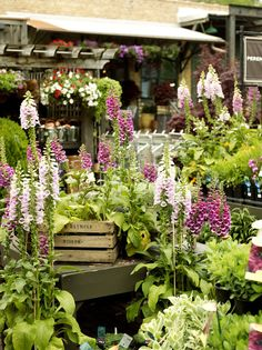Garden Photo - A grouping of potted foxgloves one of my favorite flowers for a late season blooming plant.