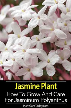 Jasmine Plant A Tropical Plant From China Popular In The United States As A Vining Container Plant For A Sheltered Setting. Develop In Hanging Baskets, Over A Small Wire Structure Or Trellis And Produces Sweet-Smelling Flowers. Find out Landscaping Plants, Garden Plants, Herb Garden, Luxury Landscaping, Landscaping Jobs, House Plants, Growing Flowers, Planting Flowers, Flower Gardening