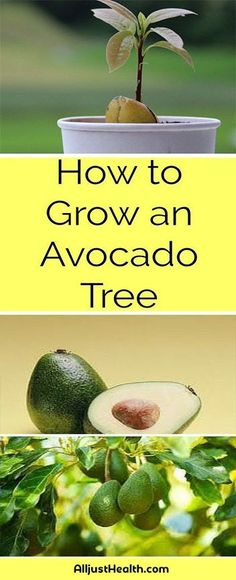 How to Grow Your Own Avocado Tree in Small Garden Pot #health #fitness #weightloss #fat #diy #drink #smoothie #weightloss #burnfat #diet #naturalremedies th #weightloss #burnfat #diet #naturalremedies #weightloss