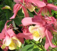 Aquilegia Spring Magic Rose & Ivory syn light red & yellow