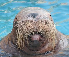 The original Walrus moustache, a pioneering trend-setter for the great and the good during the latter part of the nineteenth century and early twentieth. Description from wonderlandmagazine.com. I searched for this on bing.com/images