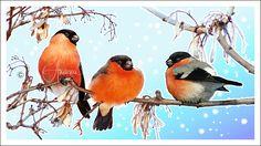Просмотреть иллюстрацию снегири из сообщества русскоязычных художников автора Елена Атаева в стилях: Классика, нарисованная техниками: Растровая (цифровая) графика.