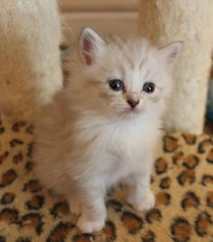 Silver color and soooo sweet. Ragamuffin Kittens, Best Cat Breeds, Cool Cats, Silver Color, Adoption, Female, Sweet, Cute, Animals
