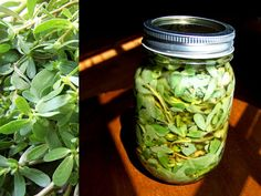 How To Pickle Purslane Recipe – Wild Food Foraging » The Homestead Survival