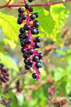 American Pokeweed Berries - Poisonous!