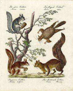 1816 Brodtmann Gallery #SG8 Squirrels
