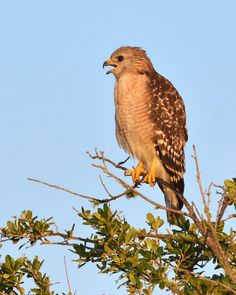 Red-shouldered Hawk (Buteo lineatus). Taken at Dinner Island WMA, Hendry County, Florida, USA