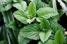 How to Make Mint Oil from fresh mint.     This could be a nice thing to give as a gift or just keep around the house.
