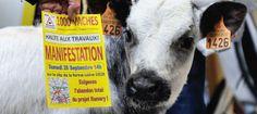 VIDEO. La ferme des 1000 vaches, c'est quoi?