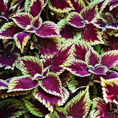 Coleus Plants: Varieties, Care & Growing Them - This Old House Potted Plants Patio, Outdoor Plants, House Plants, Coleus Care, Endless Summer Hydrangea, White Flower Farm, Yellow Leaves, Potting Soil, Begonia