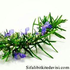 #biberiye ve #biberiyeyağı ile #zayıflama sayfamizda: http://www.sifalibitkitedavisi.com/bitkisel-caylar-listesi.html