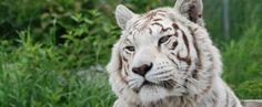 The Truth About White Tigers – The Wildcat Sanctuary – albino animal Crazy Cat Lady, Crazy Cats, Big Cats, Cute Cats, White Bengal Tiger, White Tigers, Toy Dog Breeds, Tiger Art, Nature