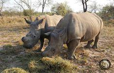 Rhinos at HESC - Gertjie and Matimba #rhino #savetherhino #conservation #wildlife