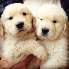 awwww....yellow, chubby, fuzzy puppies! the best of the best! love, love, love!!