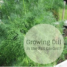 growing dill in the fall garden