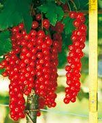 Weintrauben-Johannisbeere Rovada Busch