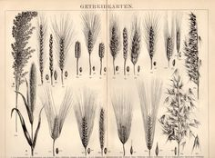1898 Cereal Grains Antique Print Vintage Lithograph by Craftissimo, €14.95