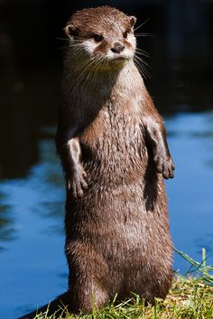 Otter does not like the looks of something - July 22, 2016