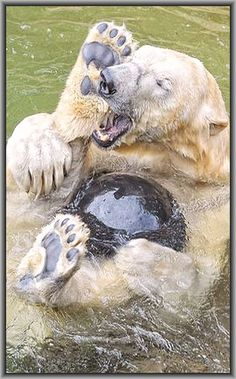 JEAAAA hihihihi 💙💖💛💙💖💛 polar bear  #by Dieter und Marion Sempf --- 500px.com