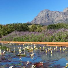 Cape Odyssey : Cape Malay Cooking – Waterblommetjies : Living Stylishly Well Water Flowers, Water Plants, Mince Dishes, African Traditions, Lemon Salt, Lamb Stew, Curry Sauce, Sweet Sauce, Stuffed Hot Peppers