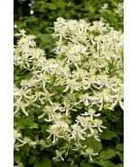 Sweet Autumn Clematis (Clematis paniculata) - Monrovia Handsome climbing vine displays billowy masses of fragrant flowers against leathery dark green leaves. Seed heads are silvery. Great for arbors, fences, cut flowers and fall accent. Deciduous.