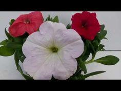 La Petunia, planta fundamental para tu jardin - YouTube