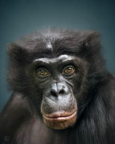 Animal Personality: Bonobo Clyde by Manuela Kulpa on 500px