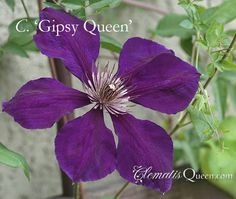 Clematis 'Gipsy Queen'