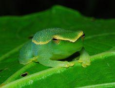 Hatchet-nose Tree Frog (Sphaenorhynchus lacteus)