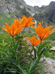 Flor Nacional de Liechtenstein Azucena de fuego (Lilium Bulbiferum)