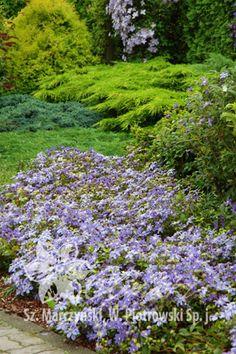 клематис 'Arabella' (1994) (Арабелла) Clematis, Garden Plants