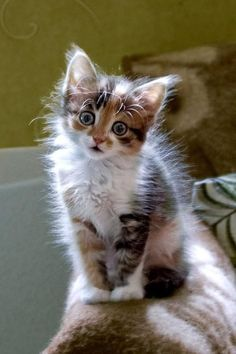 Adorable little calico kitty - that face!