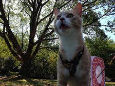 猫たちと公園散歩して、お弁当:猫おもしろ動画『こむぎ&だいず』