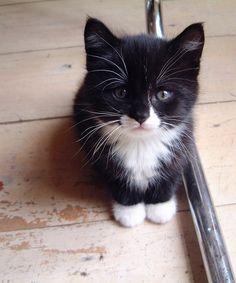 https://flic.kr/p/5NHkuN | Little Boris | our cat Boris Godounov is here 7 weeks old.