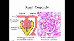 Histology Urinary System - Prelab
