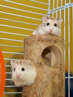 Pet Hamsters Playing