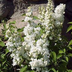 Syren 'Mme Lemoine' E - Madame Lemoine var hustru till Victor Lemoine som var den första att medvetet försöka förädla fram speciella sorter av syren. Från början hade man bland annat ett 30-tal enkla sorter samt en dubbel vid namn Azurea Plena. Madame Lemoine klättrade på stege för att nå upp att pollinera blommorna. Av hundra blommor första året fick man bara 7 frön. Men 1876 blommade de tre första plantorna. Plantan som döptes efter frun blommade 1877. Den var resultatet av en korsning…