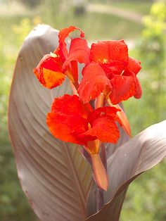 Canna : Add tropical flair to your landscape with canna. This bold plant bears big leaves and spikes of bright red, yellow, orange, or pink flowers. Tall varieties top out at 8 feet, but dwarf selections stay under 2 feet tall.