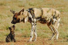 El licaón (Lycaon pictus) Las crías nacerán en una madriguera (de oso hormiguero…