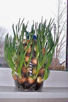 Как выращивать лук на подоконнике.
