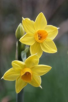 Highdown gardens Worthing - dwarf narcissi by Lord V on Flickr.