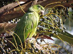 Nha-pekanga: Avifauna de Ilhabela - Papagaio-moleiro ( Amazona ...