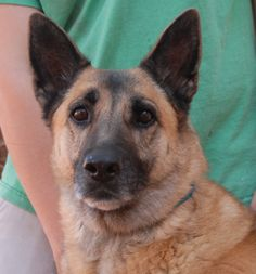 Kylene is a devoted lady who became homeless at 9 years of age for reasons unknown.  We rescued her from another shelter and she debuts for adoption today at Nevada SPCA (www.nevadaspca.org).  Kylene is a German Shepherd with an endearing and regal appearance.  She is spayed.  Kylene likes bonding with kind people and we believe she is best-suited for a calm and stable home environment.