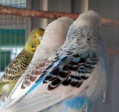 2 of my Opaline Dominant Pieds in black & cinnamon markings with a grey green cinnamon