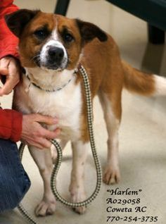 """A-6 EXTREMELY URGENT! •Breed: Collie Mix Male •Age: Adult (3 years per shelter notes) •Size: Medium •Weight: 39 lbs per shelter notes at intake •ID: A029058 •Shelter Name: """"Harlem"""" •Vaccinated, Heartworm POSITIVE •Temp. Test: Showed no aggression toward other dogs, no reaction to cats PLEASE CONTACT COWETA COUNTY ANIMAL CONTROL TO ADOPT THIS PET: 770-254-3735. The address is 91 Selt Road, Newnan, GA. Oh. Wow..... What a SWEETHEART!!!!"""