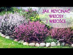 Jak przycinać wrzosy i wrzośce i po co to robić? - Deck Enclosures, Gardening, Plants, Youtube, Lawn And Garden, Plant, Youtubers, Youtube Movies, Planets