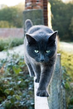 Grey cat, brilliant green eyes.