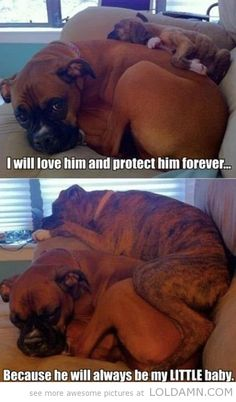 Cute boxer puppy with mom: He will always be my little baby…